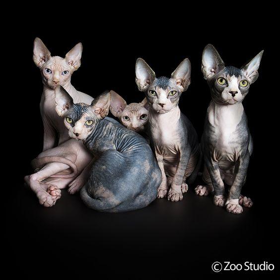 Sphynx Siblings Zoo Studio Pet Photography Brisbane