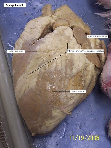 Printables Sheep Heart Dissection Lab sheep heart dissection thorough instructions and follow up labeled picture 1 via flickr