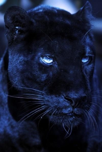 Black Panther in all beauty