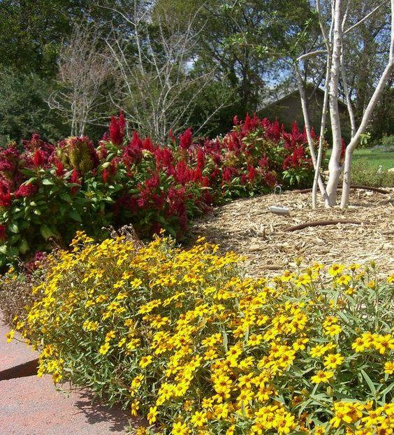 Heat hardy annuals in North TXangelonia celosia zinnia