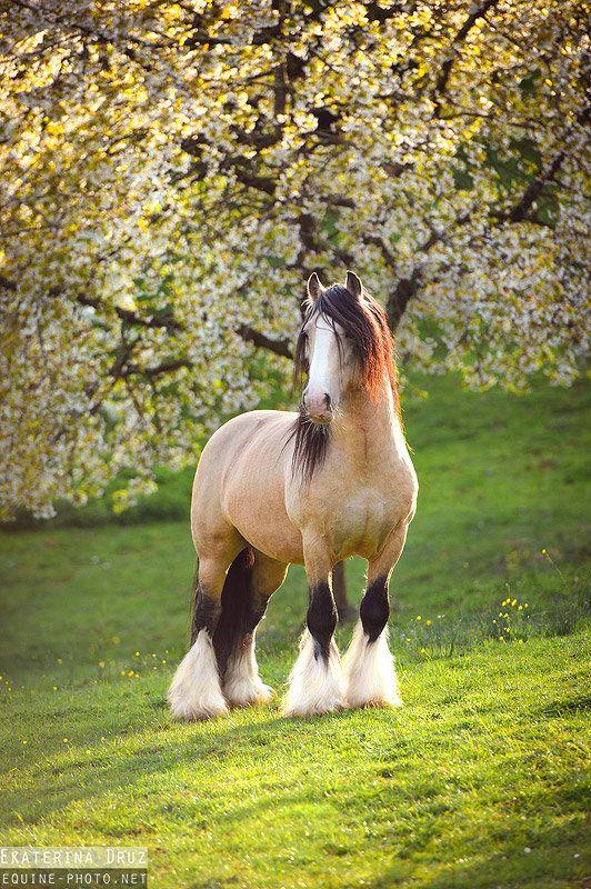 Buckskin gypsy vanner draft horse