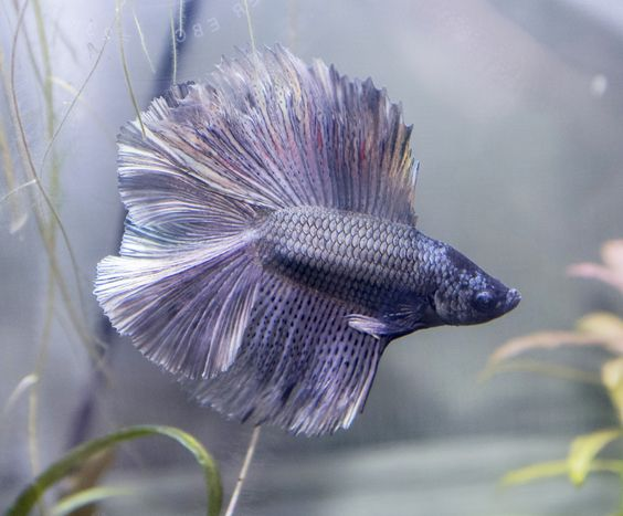 Pinterest the world s catalog of ideas for Betta fish petco