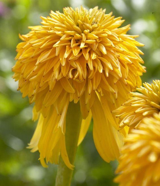 "28""h x 24""w Buy Echinacea Pineapple Sundae Online | Hayloft Plants"