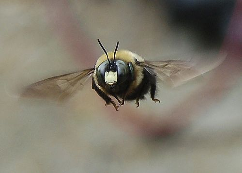 Bumble Bee Fly By