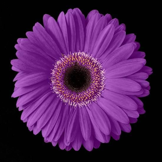 Purple Gerbera Daisy Photographic Print By Jim Christensen At