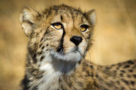 Cheated cheetah by Dana Allen, via 500px