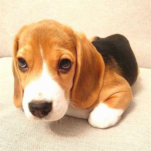 Beagle Puppy Funny Nature Pup Beagle Puppy Beagle Dog Beagle