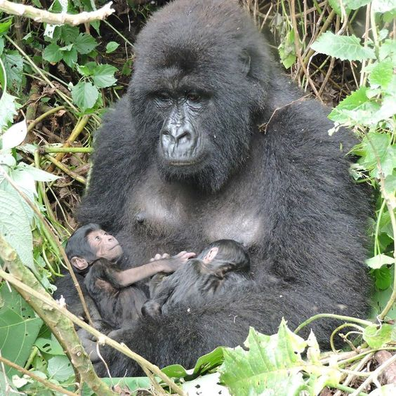 BIRDS & DAFFODILS: NEW MOUNTAIN GORILLA TWINS ~ VIRUNGA NATIONAL PARK http://birdsanddaffodilsbylyndabergman.blogspot.com/2016/10/new-mountain-gorilla-twins-virunga.html: