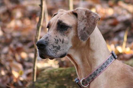 Meet BHRR's Gretta a Petfinder adoptable Great Dane Dog   Oxford Station, ON   BHRR's Gretta(2 years), Fawn with merle Female, spayed, utd on vaccines, microchipped, GREAT...