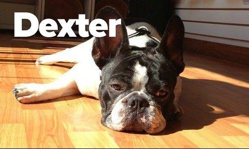 Dexter, the French Bulldog