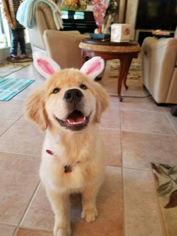 Golden retriever puppy bunny #goldenretriever