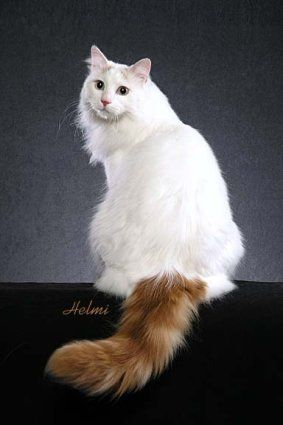 This gorgeous cat looks something like our long-haired Willow, who we think is partly Turkish Van.   Turkish Van Cat