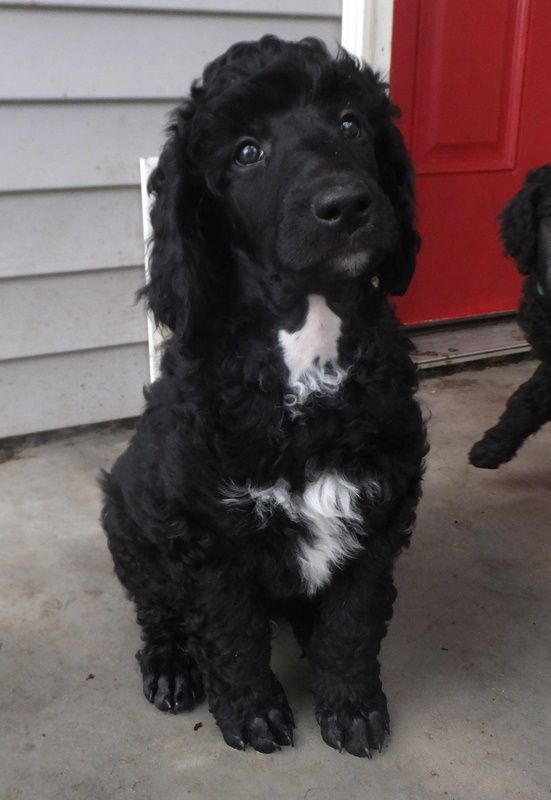 Clark Black Standard Poodle Puppy 8 Weeks Old Poodle Puppy