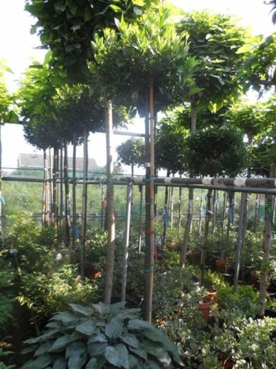 Guter hoher Sichtschutz, immergrün, extrem winterhart! Prunus - garten pflanzen sichtschutz