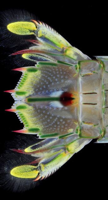 Mantis Shrimp Tail Fan