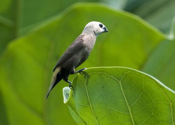 grey-headed mannikin (Lonchura caniceps)