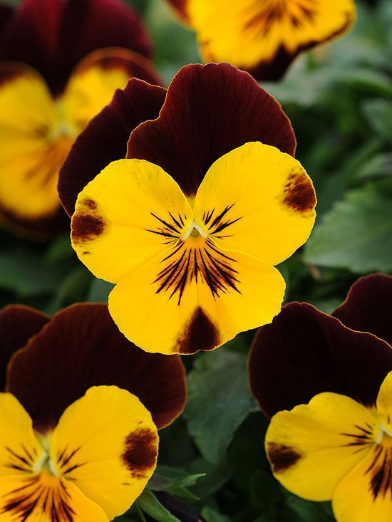 Get The Basics On Pansy Care Including How To Grow Pansies With Other Flowers Gardening Pansies Flowers Pansies Annual Plants