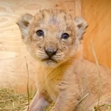 Help the zoo name Neka's lion cubs | Adventure & Exploration | KATU.com - Portland News, Sports, Traffic Weather and Breaking News - Portlan...