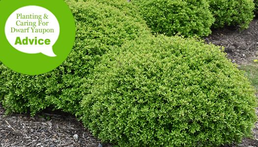 How To Plant And Care For Dwarf Yaupon Holly Shrubs Holly Shrub