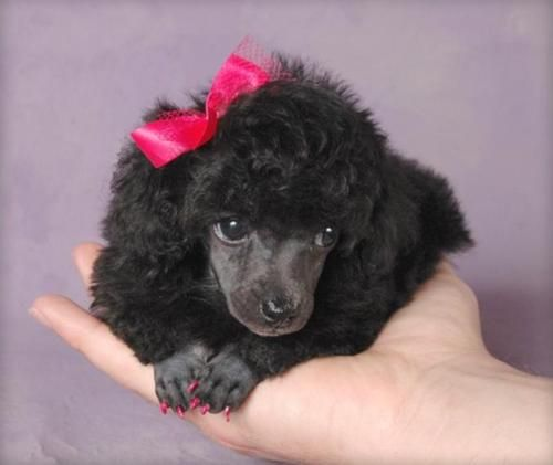 Miniature poodle pup.