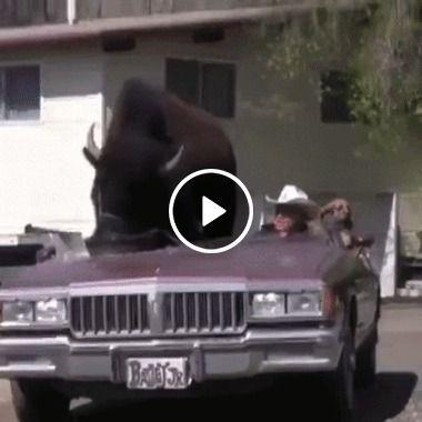 Búfalo dando uma volta de carro conversível