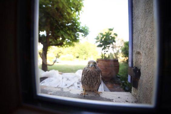 Faucon crécerelle - Dordogne
