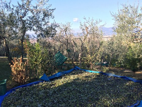 Making olive oil in the tuscan hills