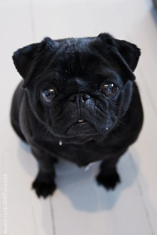 You Are Beautiful Though You Are Black Blackpugs Blacky