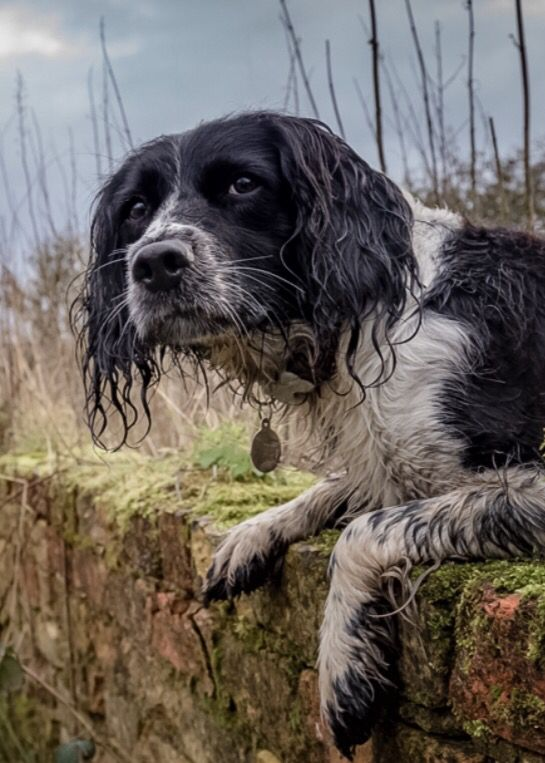 Working Springer Spaniel. (JFerrett photography)