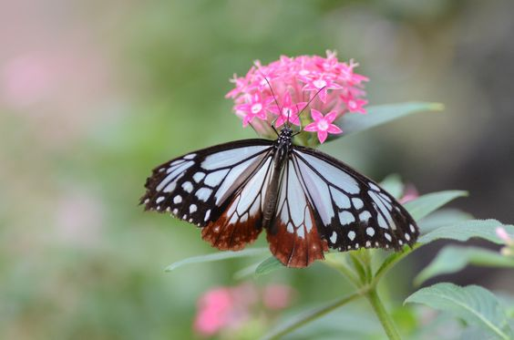 chestnut tiger and pentas | by snowshoe hare*(catching up)