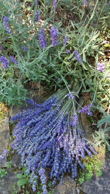 Freshly harvested lavender bundles,  ready to dry