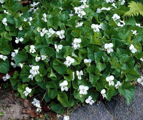 Wooly Blue Violet 'Albiflora' • Viola sororia 'Albiflora' • Sister ...