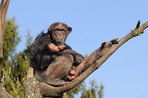-Schimpanse,_Pan_troglodytes_