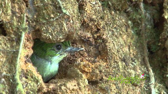 Cría de San Pedrito vocalizando desde el nido