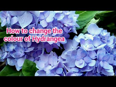 Hydrangea Plant Care In Malayalam How To Change The Colour Of Hydrangea Youtube In 2020 Hydrangea Plant Care Planting Hydrangeas Plant Care