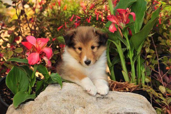 Sweet Sheltie pup