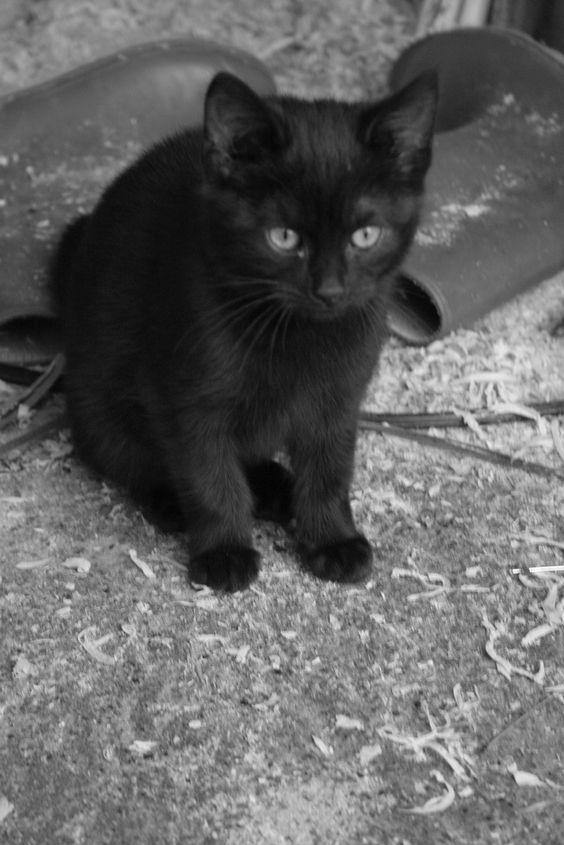 gatinho preto bonito