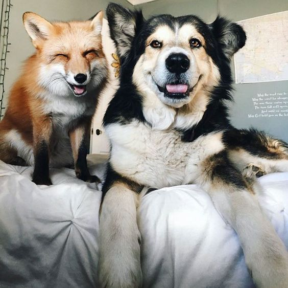What bestfriends are.  Fox and Dog Smiling.   by boredpanda