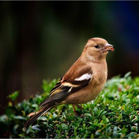 #birds#vink#nikon#nikond610#sigma50500#nature#naturelovers#naturephotography by desmetpatrick