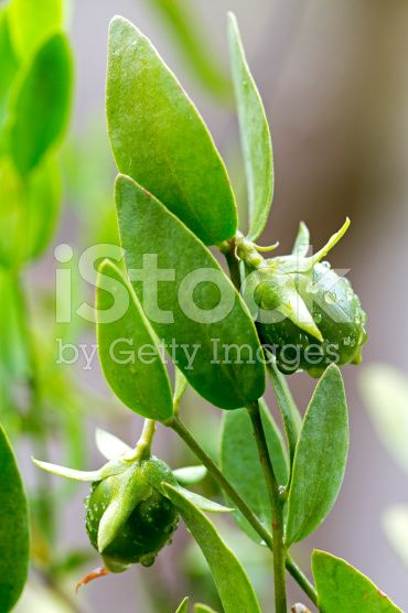 Jojoba plant used in cosmetics and as biofuel royalty-free stock photo