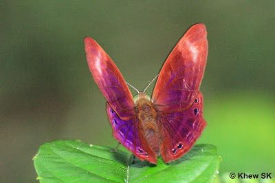 Butterflies of Singapore: Butterfly of the Month - July 2011