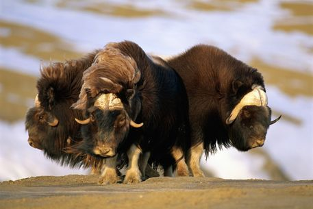 The only serious predator of the musk ox, aside from man, is the wolf: when under attack, the herd closes into a tight defensive circle with the calves in the middle, presenting an almost impenetrable ring of sharp curved horns. Arctic Wildlife; www.bradtguides.com.