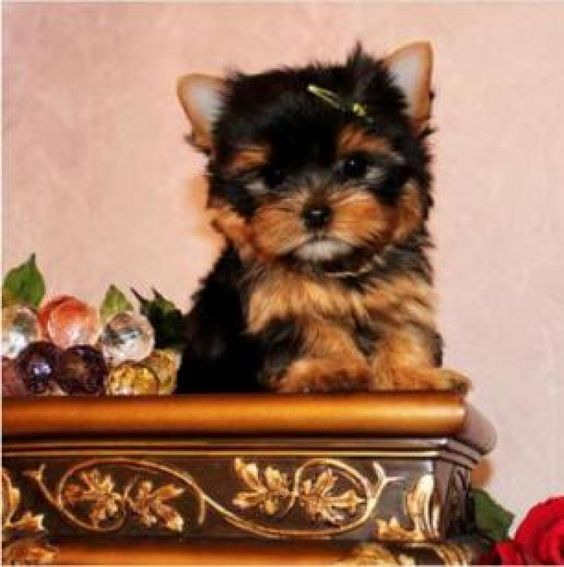 Miniature Teacup Yorkie Puppies For sale. Offer United Kingdom ...