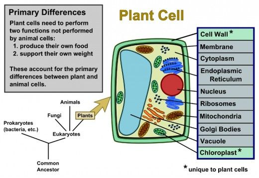 Plant Cells vs. Animal Cells, With Diagrams | Plant Cell, Plants ...