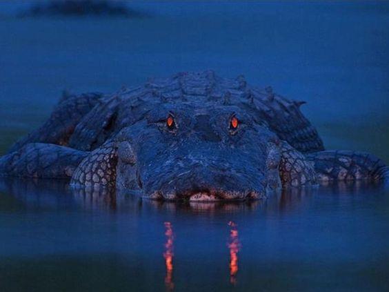 Caimán en Florida, USA. Foto de Larry Lynch