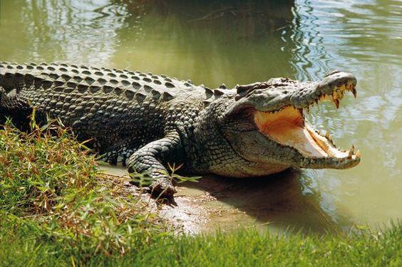 Krokodiltámadás