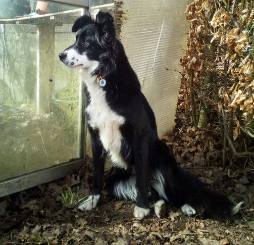 Missing Border Collie Border Collie Collie Rescue Dogs