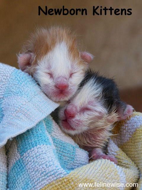 Kitten Development The Early Stages Of Kitten Growth Newborn Kittens Baby Cats Baby Kittens