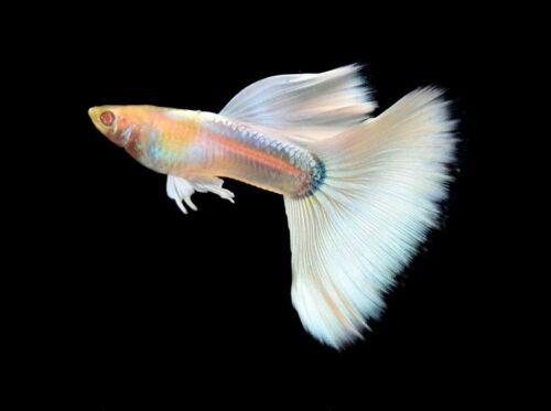 Pregnant Female Of Full Platinum Albino Guppy Poecilia Reticulata Livebearer Guppy Fish Guppy Pet Fish