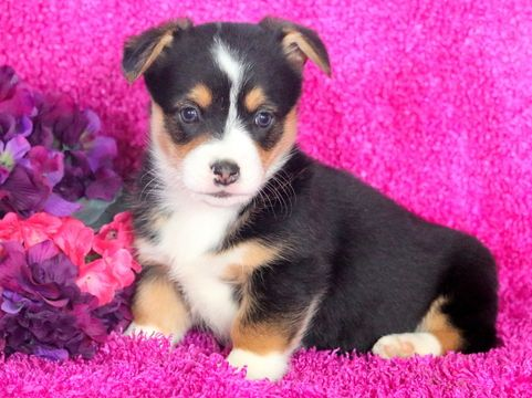 Pembroke Welsh Corgi Puppy For Sale In Mount Joy Pa Adn 61413 On